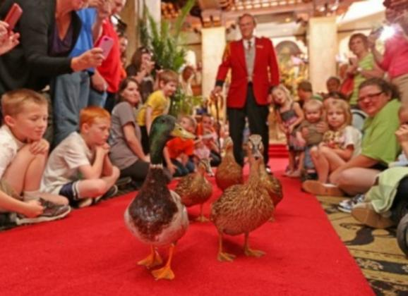 Peabody Ducks march two times every day. Photo by Peabody Memphis.